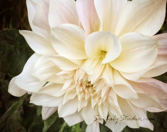 Sweet Love : dahlia flower photo floral garden pastel pink cream wedding spring summer romantic home decor 8x8 10x10 14x14 16x16 20x20