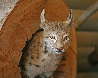 Downloadable photo Wild Animal photography Lynx nature photography Printable art digital download photo