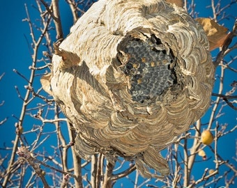 photographic print of wasp nest in tree sky behind it