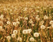 Dandelion Field - Reserved for  Sabreen Wilkes