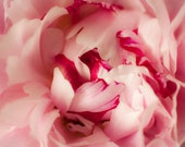 Pink Peony, floral photography wall art, gifts for her 16 x 20 photographic print