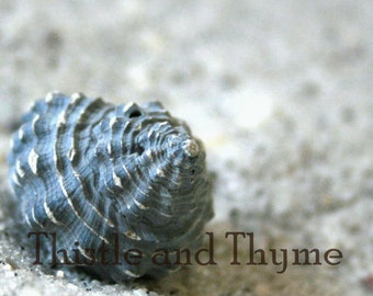 Cantharus seashell photographic art print - 5x7 photo color or black and white