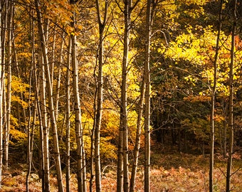 Michigan Autumn Forest Tree Grove with Fall Yellow Orange Leaf Colors No.089 - A Fine Art Nature Landscape Photograph