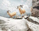 Animal Photography: Snow Rams on a Mountain, White Winter Art, Wildlife Decor, Nature Photography, Sheep Photo - hipandclavicle