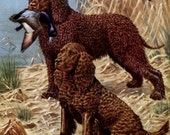 Water Spaniels, Golden Retriever and Sussex Spaniels Vintage Dog Illustrations - Walter A. Weber - 1940s double sided page
