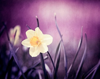 "Dark Purple Photography, yellow flower plum violet wall art nature print daffodil botanical photo modern colorful photograph, ""Amethyst"""