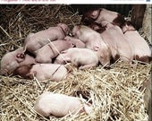 Holiday Sale Fine Art Farm Animal Photography Baby Piglets Nursery 12 Pink