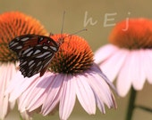 Custom order exclusively for c1t1v1 Fritilary Butterfly on coneclower 16X24