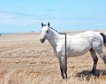 White horse print, horse canvas, oversized art, oversized print, dappled horse print, Hawaii print, earth tones, equestrian photo