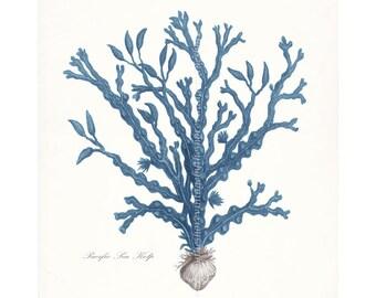 Coastal Decor Vintage Pacific Sea Kelp No. 3 Giclee Art Print 8x10 Coastal Blue