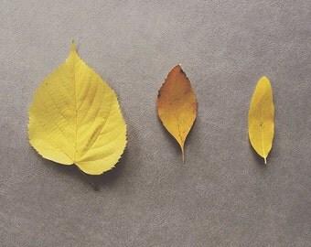 Three Yellow Leaves. Still life fall foliage