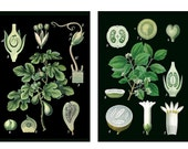 Set of 2 Black Background Botanical Charts - 16x20