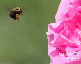 Bumblebee Photo Pink Rose Photo Bee and Flower Nature Photography Insect Photography home decor theartisangroup