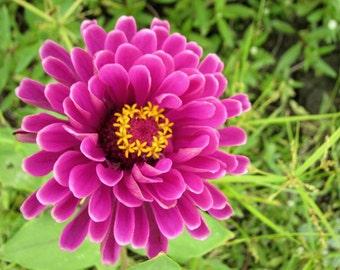 Heirloom 200 Seeds Zinnia elegans Rocky Mountain Plains Wild Purple Red Flower Bulk Seeds BH144