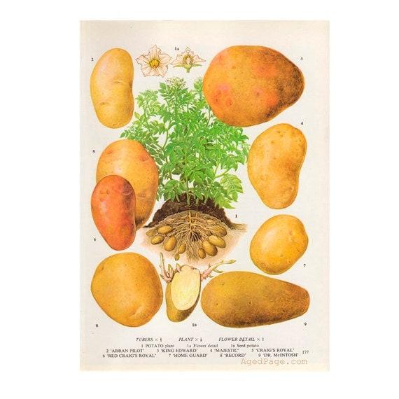 Kitchen Decor Vegetables: Vegetable Kitchen Decor Botanical Illustration Vintage By