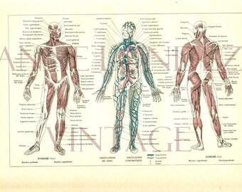 Planche anatomie vintage 1908 Cadeau pour médecin Gravure du corps humain Décoration cabinet médical Gravure d'anatomie vintage Ecorché
