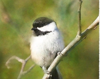 Chickadee Paintings, chickadee art, wildlife art