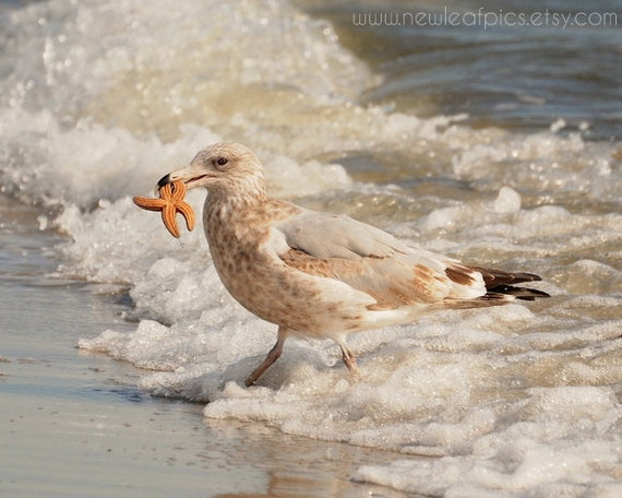 Seagull on Beach, Starfish, beach art, coastal wall art, beach house decor, bird photography 'The Catch'