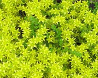 """Sedum Acre Aureum Succulent Live Plant 3"""" Groundcover"""