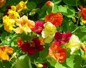 Gourmet Salad Mix Nasturtium Heirloom Herb Seeds Edible Flower Non GMO