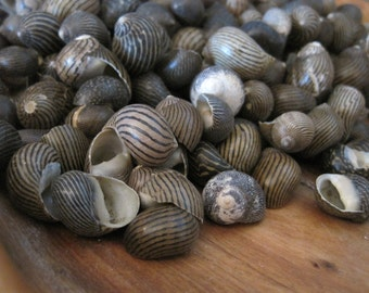 Mixed Nerita Columbella Snails (50) - Coastal Home Decor - Seashells - Seashell Supply - Snail Shells