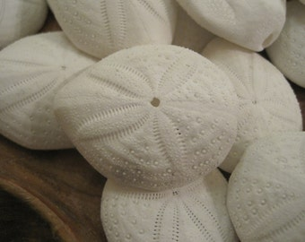 Puffy Sand Dollars (3) - Seashell Supply  - Seashells - Sand Dollar - Seashell craft supply - Beach Wedding