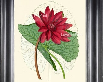 BOTANICAL PRINT Water Lily Flower  Botanical Art Print N2 Beautiful Antique Large Pink Lotus Lake Nature Spring Garden
