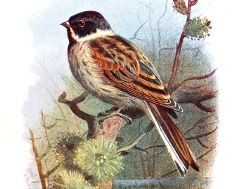 Black Headed Bunting, Antique Bird Print - Unframed Bird Picture - Paper Goods, Home Decor - Colour Drawing, A. Thorburn