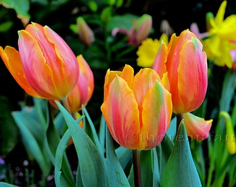Orange and Pink Tulips -Fine Art Photograph- Spring Floral