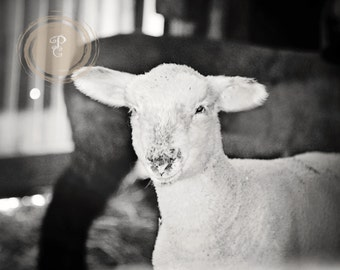 Mary had a Little Lamb, photo, sheep, textures,farming, black and white