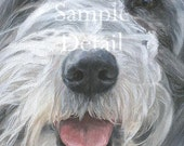 BEARDED COLLIE fine art dog print 'Willow'