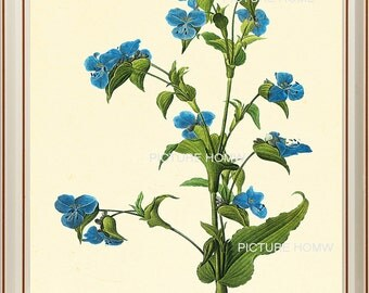 Forget Me Not Blue Botanical Print 24 Beautiful 8X10 Antique Redoute Art Room Decoration Wall Art to Frame Interior Design