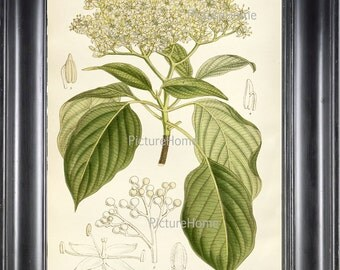 Botanical Art Print Dogwood Tree Plant B14 Beautiful 8X10 White Flowering Garden Tree Nature Natual Science Wall Decor Interior Design