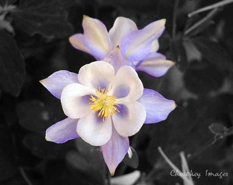 Purple Columbine Focal Black and White Floral  Photography