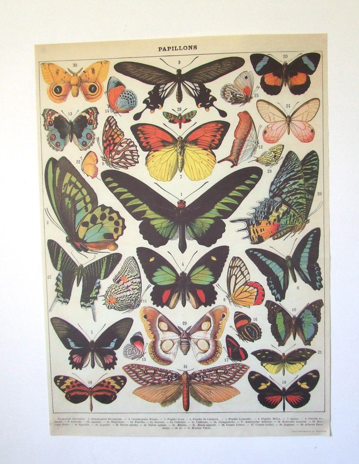 20 x 27 Vintage Butterfly Insect French Specimen Chart Poster  Vintage Butterfly Chart