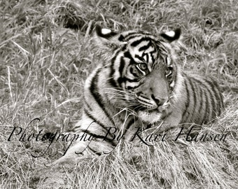 Asian Sumatran Tiger Wildlife Nature Fine Art Photography Black and White Far East Asian Jungle Wildlife Wall Decor