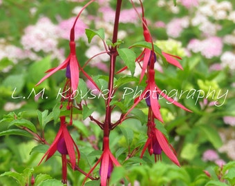 Garden photograph of a red and purple flower fuchsia plant, green, garden, nature home, wall art, Oregon, Pacific NW, 5x7 8x10 11x14 picture