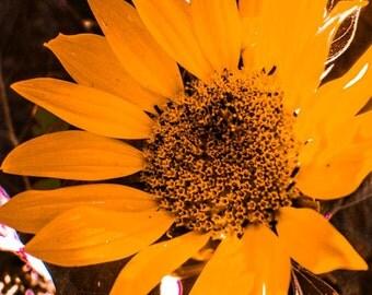 Flower Photograph, Sunflower Photography, Yellow Nature Print, Orange Fine Art, Photo Wall Art  by Paula DiLeo