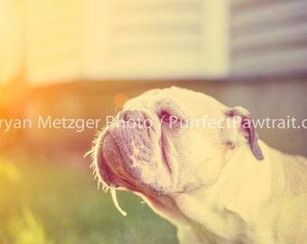 Sunlight English Bulldog Print, Fine Art Photography Print, Purrfect Pawtrait Pet Photography, Animal Photography