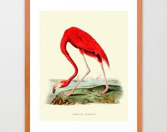 Flamingo - PInk Flamingo Print -  Audubon Art - John James Audubon Art Print