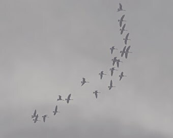 Canadian Geese Black and White Photo Print { bird, sky, cloudy, gloomy, fly, soar, south, wall art, macro, nature & fine art photography }