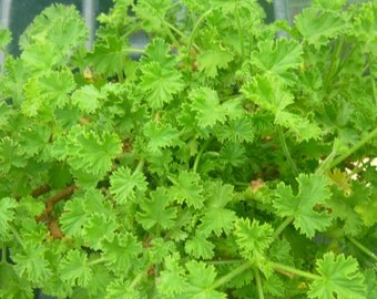 Orange Scented Geranium live herb plant