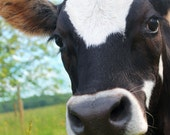 Donovan Quirk:  close up image of our handsome steer showing off his sense of curiosity and gentleness.