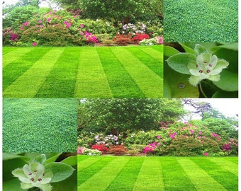 1000 x Dichondra Lawn Grass Seed - Grows Easily  In Full Sun or Partial Shade - LOW MAINTENANCE - Zones 6 & UP