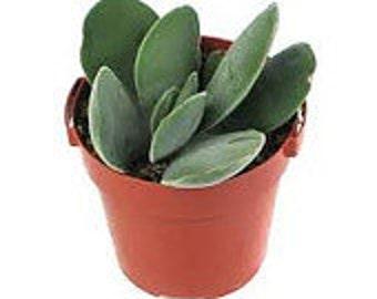 Succulent Plant Crassula Dubia