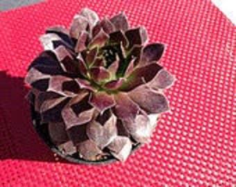 Medium Succulent Plant Hen's and Chicks Sempervivum Pacific Devil's Food