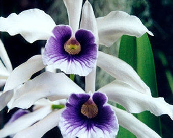 Fine Art Photo Greeting Card Flower Photography - White Purple Orchids Card - Wedding Card - Made in Hawaii - Blank Note Card - Nature Card