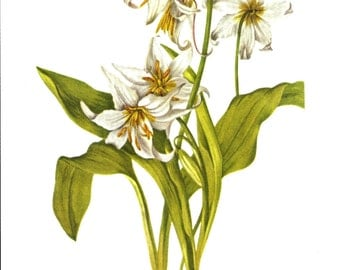 Flower Print - Avalanche Lily - Vintage Art Print - Botanical Book Plate, Print - Wild Flowers of America - Violet - Mary Vaux Walcott