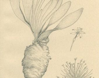 Tumbleweed, Vintage Botanical Print 152, Medicinal and Poisonous Plants, Pencil Drawing, Eberhard Koenen, 1977