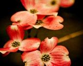 Photograph of Dogwood Flowers / Spring decor / nature photography / red wall art print / crimson / botanical home decor / art for walls